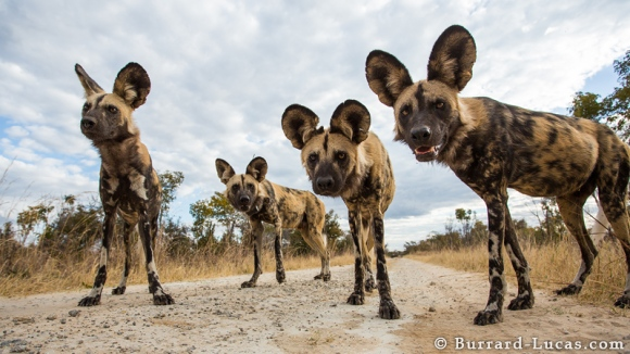 african_wild_dogs