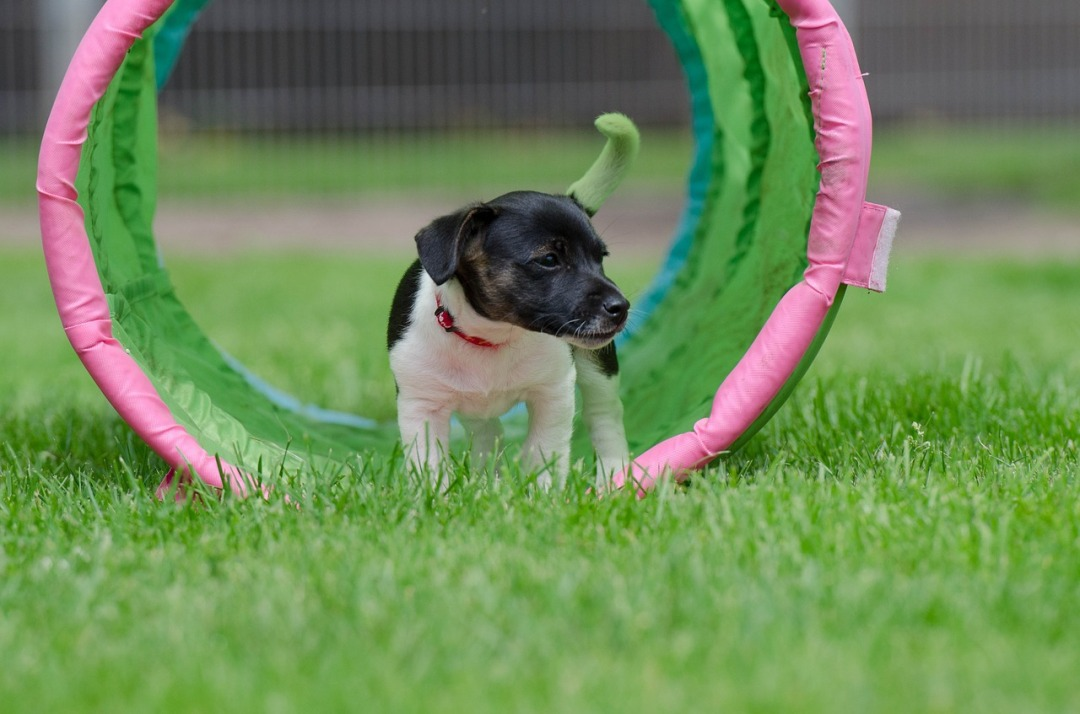 jack-russel-puppy-750608_1280